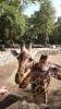 Селфи жирафов
